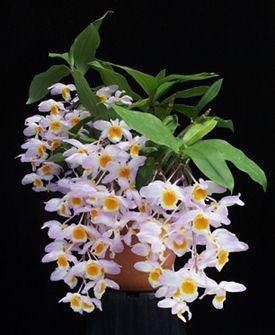 orquídea, bonsai + adubo fertilizante fetrilon 100g alemanha