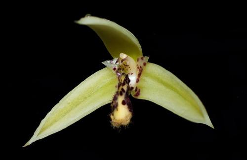 orquídea bulbophyllum tripetalum