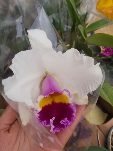 orquídea catreia