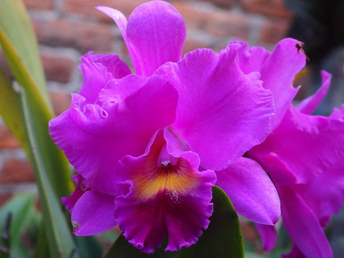 Orquidea cattleya hibrida morada en mercado libre for Cuidado de las orquideas moradas