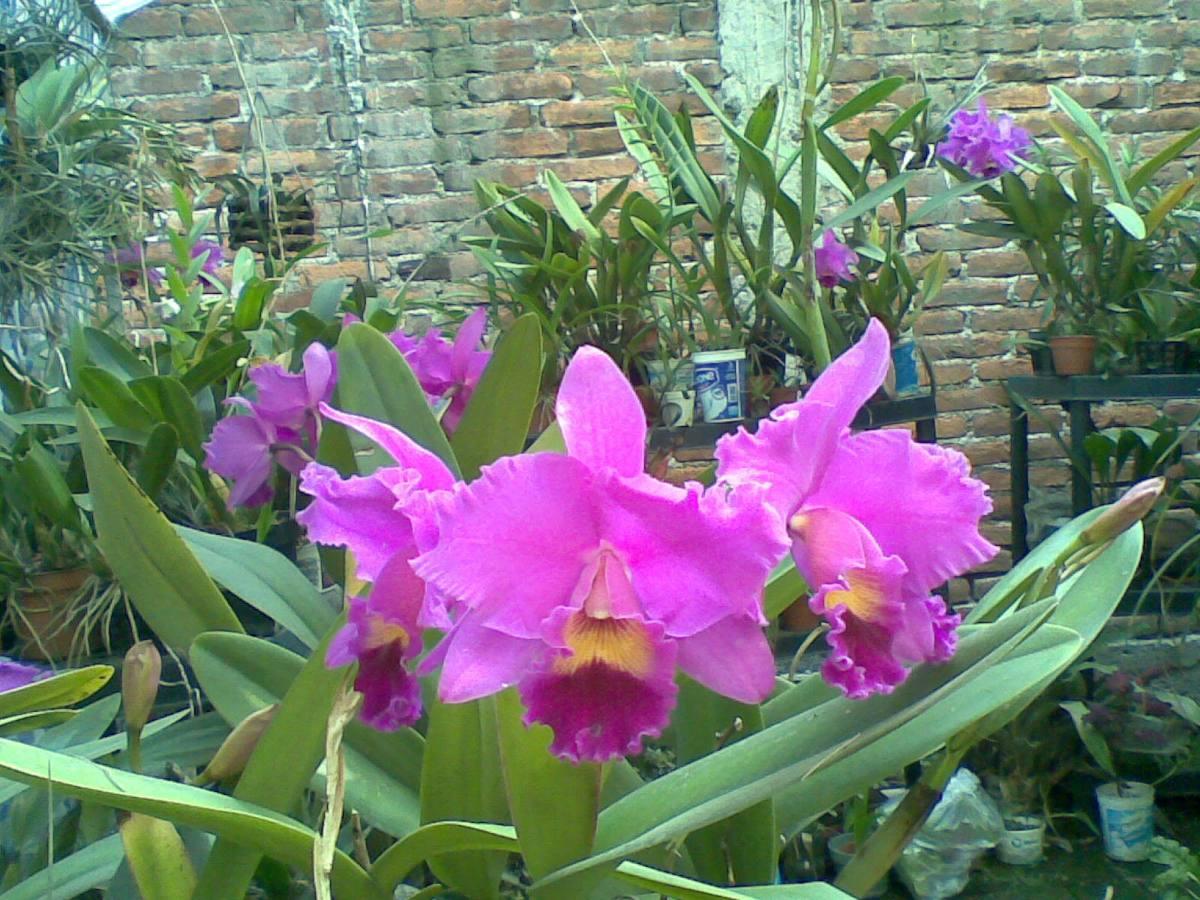 Orquideas cattleyas hibridas for Cuidado de las orquideas moradas