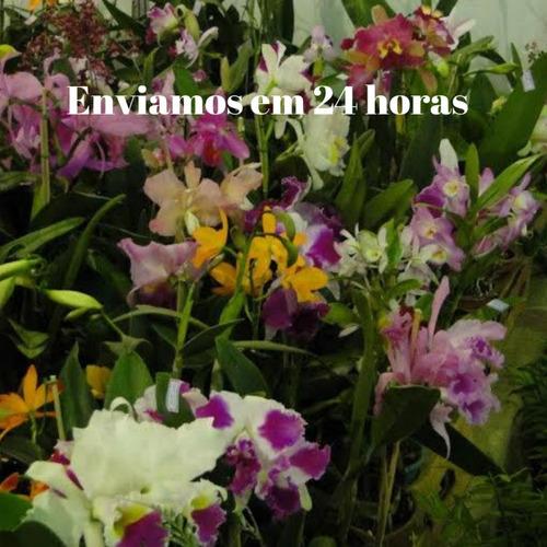 orquídea cattleya kit com 10 mudas mais adulbo grátis flores