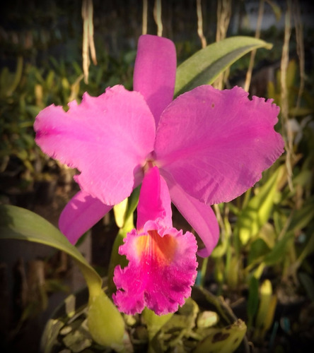 orquidea cattleya trianae var rubra tr16
