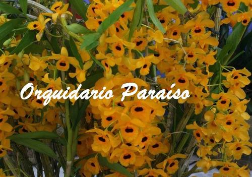 orquídea dendrobium fimbriatum oculatum