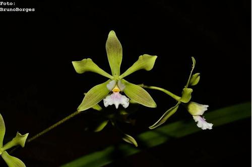 orquídea encyclia gonzalezii x diruna
