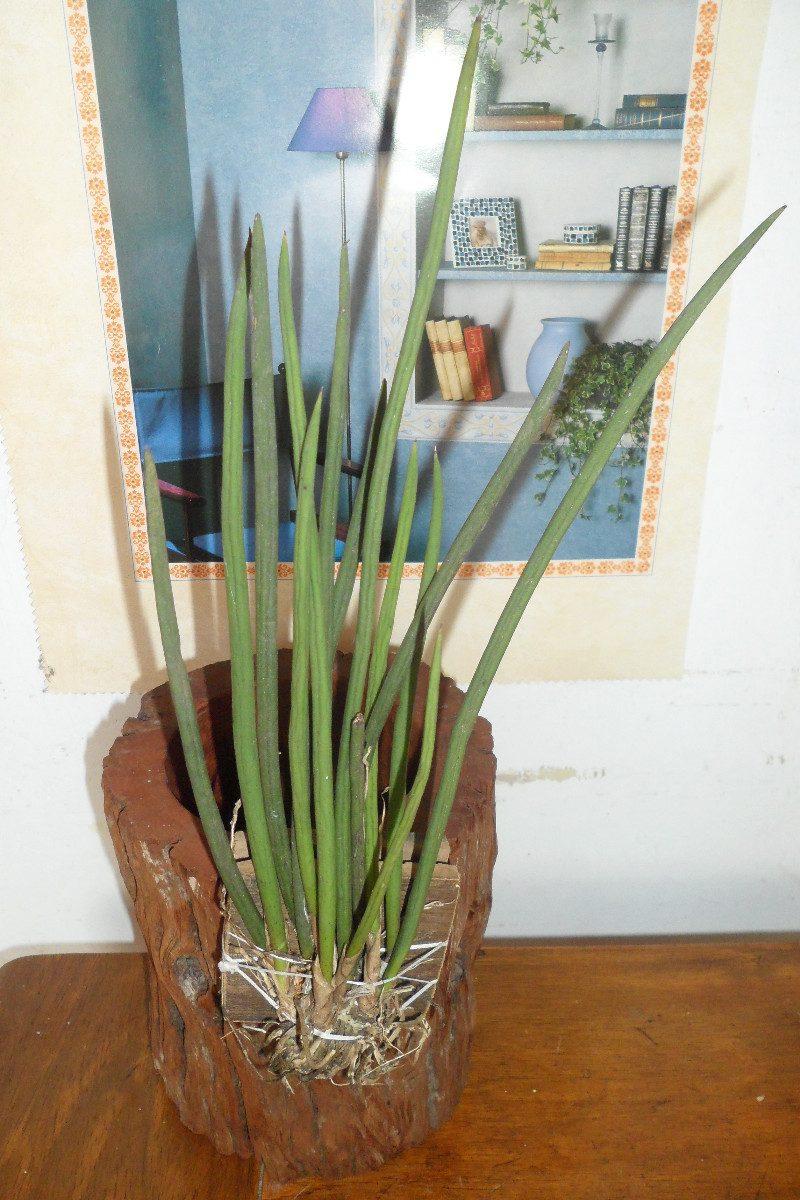 orquídea oncidium cebolleta grande orquídeas exótica. Cargando zoom.