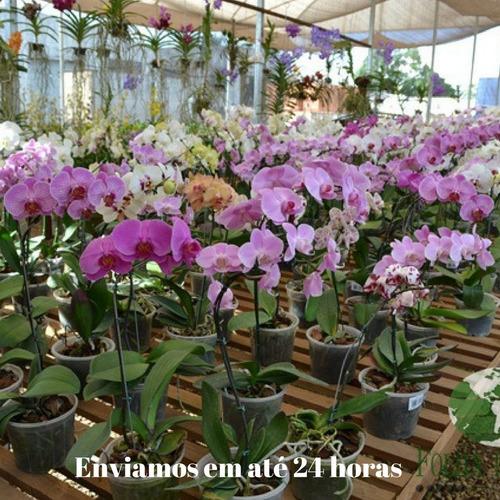 orquidea phalaenopsis kit com 3 adultas mais adubo e brinde