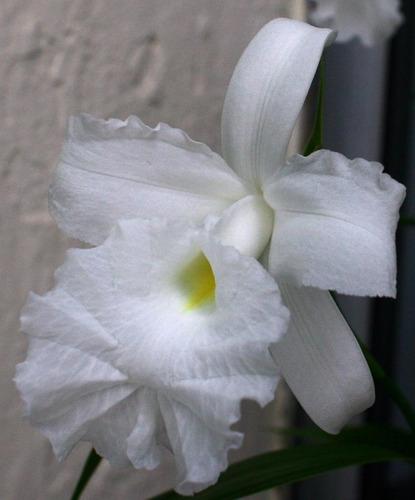 orquídea terrestre  sobrália liliastrum