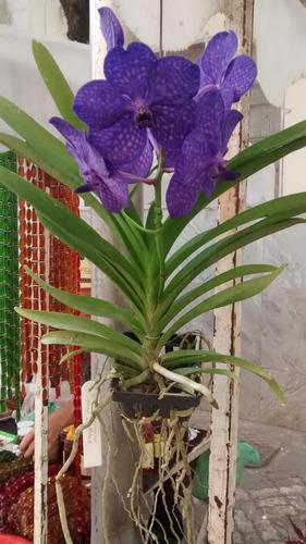 orquídea vanda  princess mikasa blue