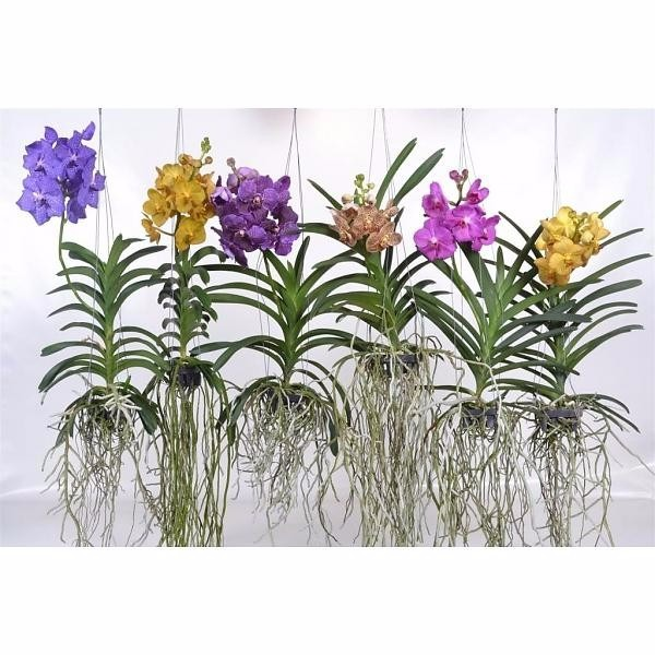 Vanda Orchid roots love to grow in the open air. More vanda orchid care  https