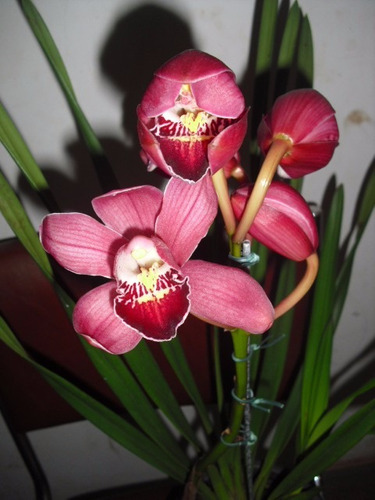 orquídeas cymbidium, plantada em vaso, com flores, adulta!!!