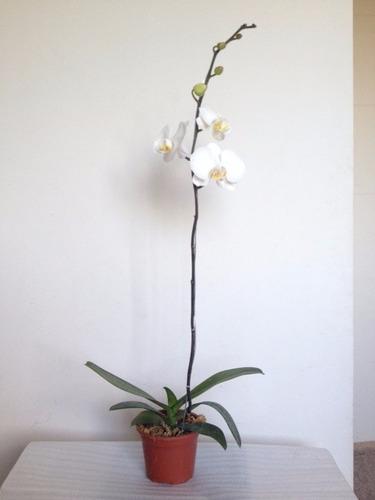 orquideas mariposa 50 cm maceta plastica