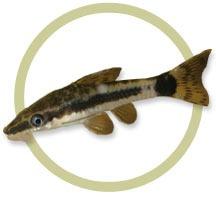 otocinclus surtido oferta,!!!!!! elegi mundo acuatico