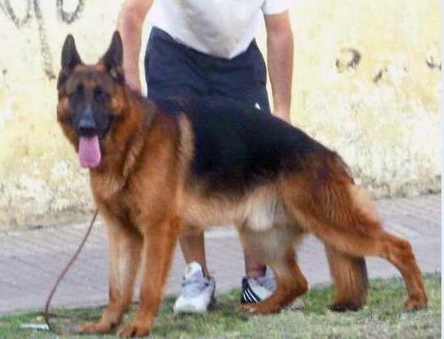 ovej. aleman cachorros con pedigree poa