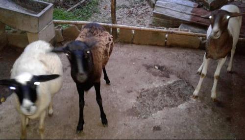 ovejas en venta o cambio