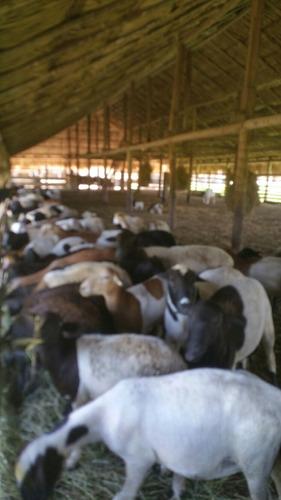 ovejos a la venta