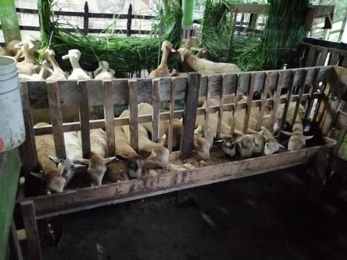ovinos organicos