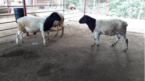 ovinos / ovejo f1 katahdin con white dorper