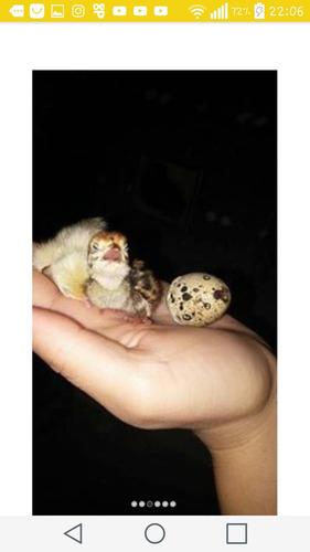 ovos de codornao gigante marrom branco com 3 super brindes