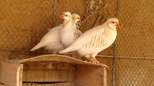 ovos férteis de perdiz chukar branca (reserva 2020)