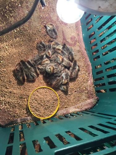 ovos galados de codorna bob white mexicana * dúzia c/ 15ovos