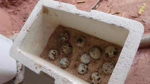 ovos galados de codornas gigantes (codornão)branco