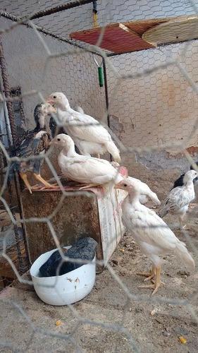 ovos galados de galinhas branca shamo