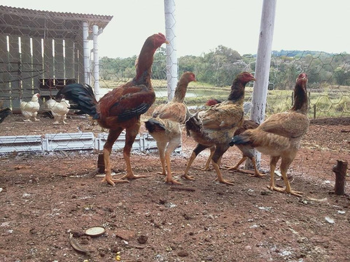 ovos galados de indio gigante
