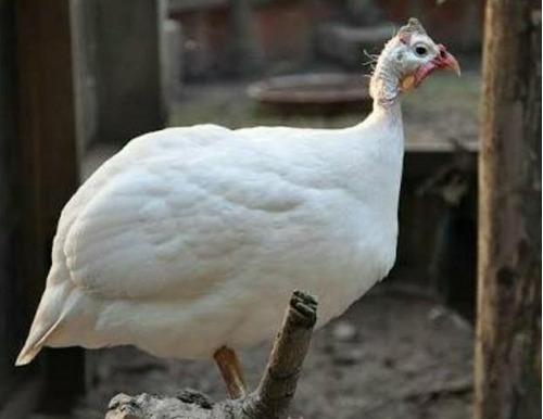 ovos galados galinha de angola branca 15 ovos - reservar