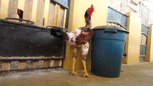 ovos galados galinha  gigante