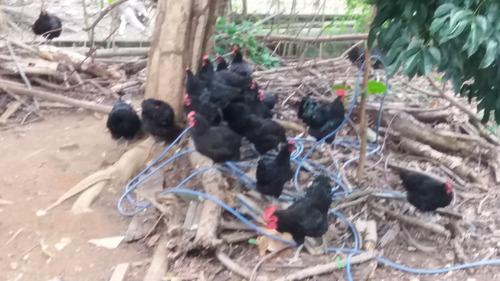 ovos galados gigante negro de jersey - kit com 15 ovos
