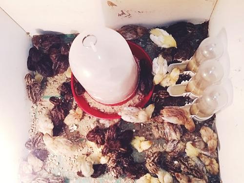 ovos galados mini codorna chinesa ( 30 und )