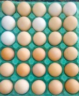 ovos índio gigante reprodutor 119cm & matrizes 101cm - 15 ovos