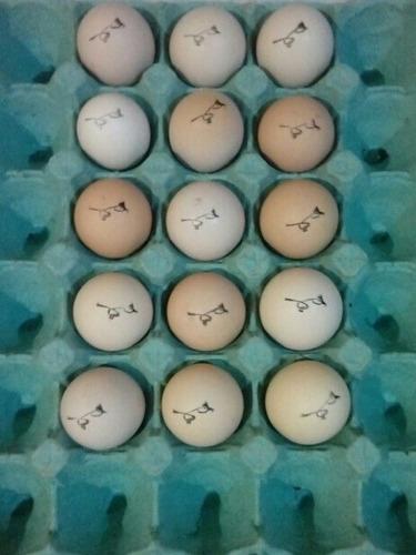 ovos sangue shamo tay ,barigueiroscosteiros bom promoção