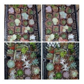 Pack 100 Suculentas/cactus
