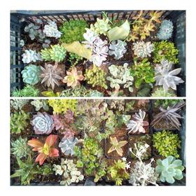 Pack De 60 Cactus/suculentas Varias