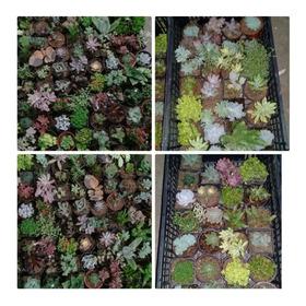 Pack De Suculentas/echeverias/cactus 50 Piezas