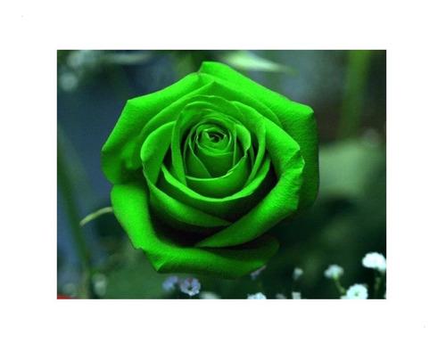 pack x 10 semillas rosas raras rosa rara flor (elegir color)