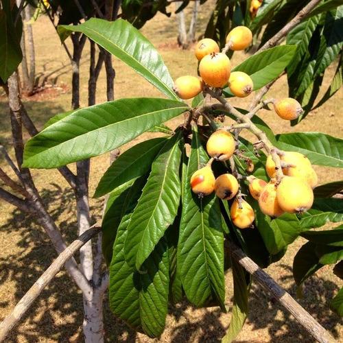pacote 40 folhas de ameixa amarela - nêspera - frescas
