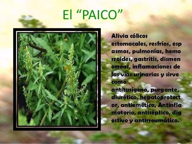Paico planta medicinal en mercado libre for Vendo plantas ornamentales
