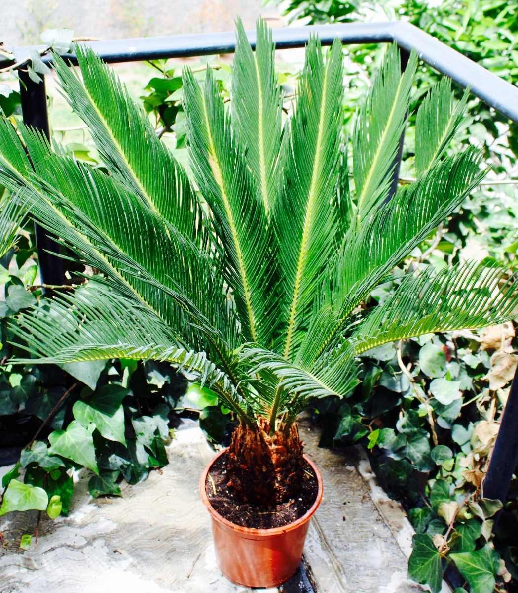 Palma cica en mercado libre for Palmeras de exterior