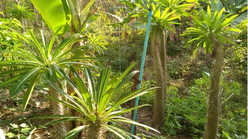 palmeira da malásia, gigante 5 kg