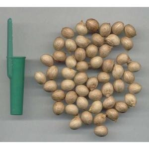 palmeira imperial real 200 sementes novas + 200 saquinhos