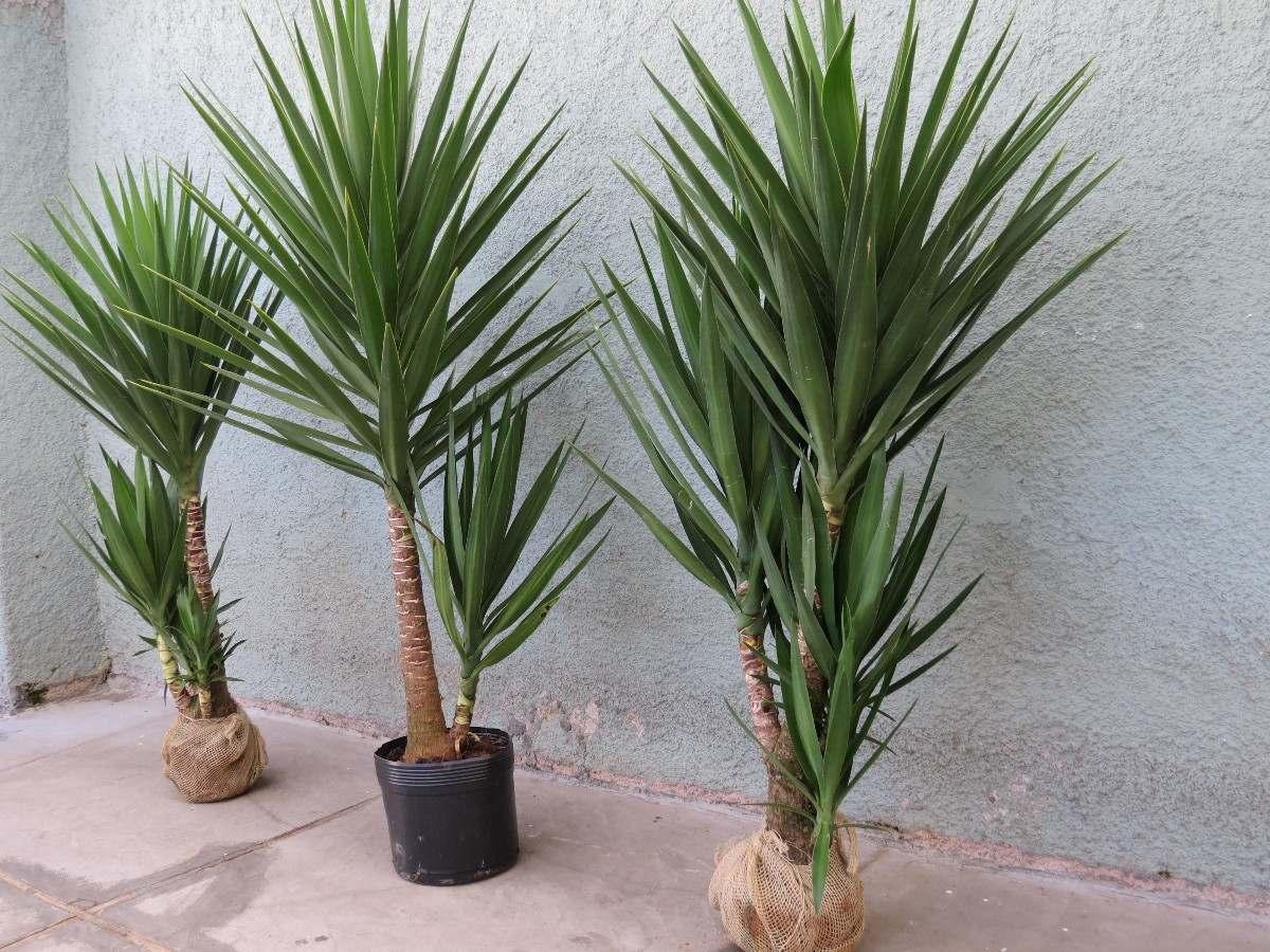 Palmeira yucca iuca planta natural apenas grande sp r for Planta yuca exterior