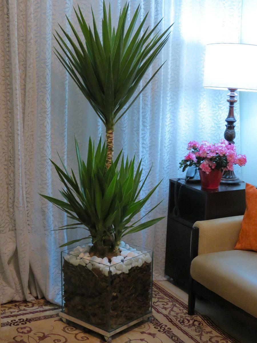 Palmeira yucca no cachepot de vidro 35x35x35cm com for Yuca de interior