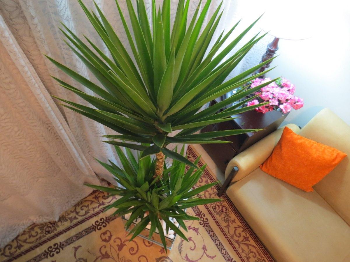 Palmeira yucca no cachepot de vidro 35x35x35cm com - Yucca elephantipes cuidados ...