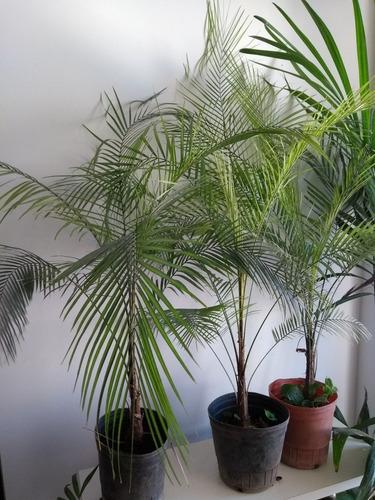 palmera elegante interior coco weed belgrano envios