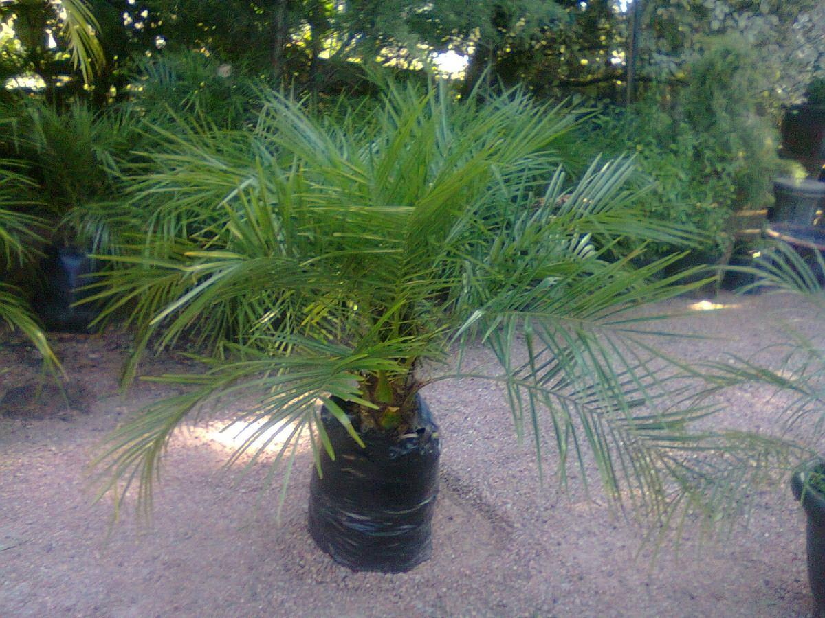 Palmera felix robelina 690 00 en mercado libre for Palmeras para jardin