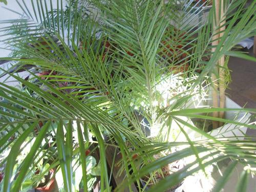 palmera fenix