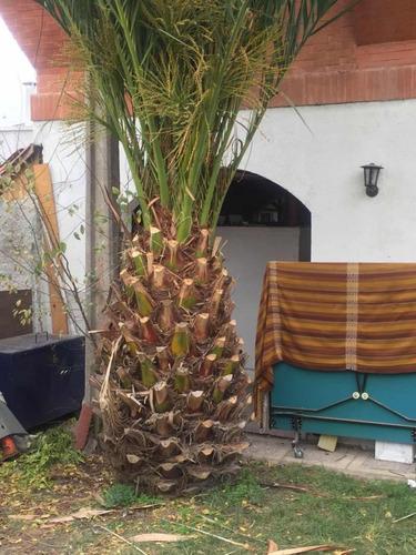 palmera phoenix